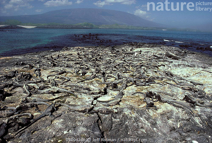 Marine Iguana colony on Epinosa Point, Galapagos Islands., COASTS,ISLANDS,LANDSCAPES,GROUPS,REPTILES,SOUTH-AMERICA, Jeff Rotman