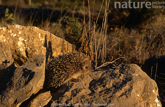Hedgehog {Erinaceus europaeus} on rocks, Spain.  ,  EUROPE,HEDGEHOGS,INSECTIVORES,MAMMALS,SPAIN,VERTEBRATES  ,  Jose B. Ruiz