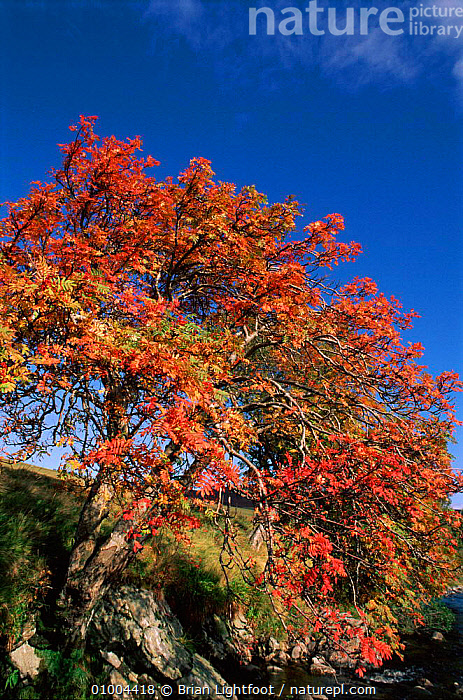 Rowan Tree (Sorbus aucuparia) growing by river. Scotland, UK  ,  AUTUMN,BL,EUROPE,GROWING,LANDSCAPES,MOORLAND,RIVER,SCOTLAND,STREAM,UK,VERTICAL,UNITED KINGDOM,BRITISH  ,  Brian Lightfoot