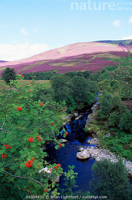 Autumn colours with Rowan berries and Heather in bloom on moorland, Glen Lethnot, Montrose, Scotland, UK  ,  EUROPE,LANDSCAPES,MOORLAND,RIVERS,SCOTLAND,UK,VERTICAL,United Kingdom,British  ,  Brian Lightfoot