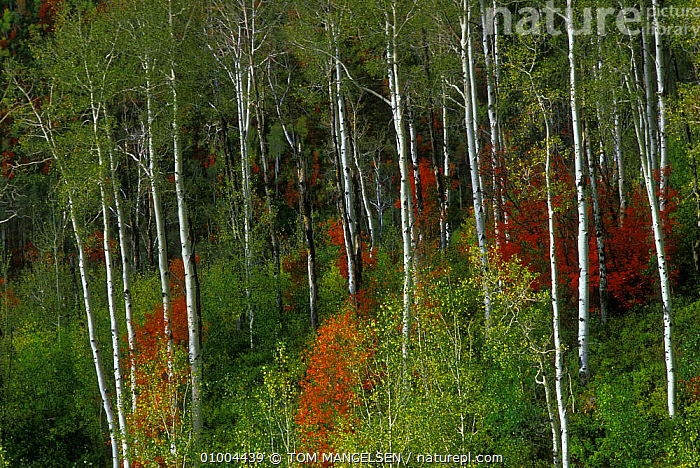 Aspen and Mountain Maple trees in fall colours , Wasatch Range Utah USA.  ,  USA,AUTUMN,NORTH AMERICA  ,  TOM MANGELSEN