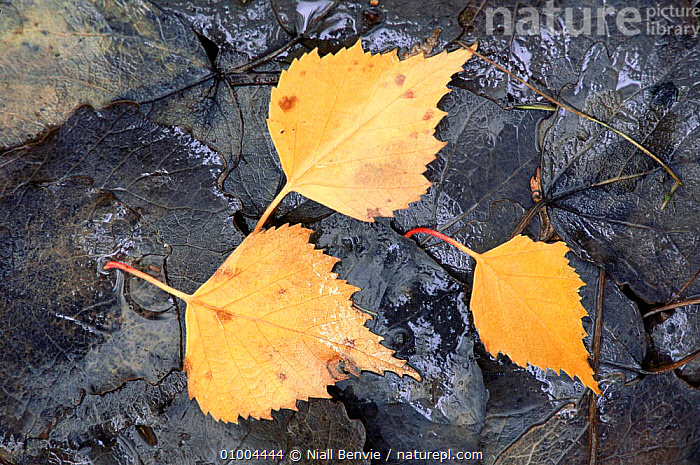 Silver Birch leaves lying on ground (Sorbus aucuparia)  ,  ARTY SHOTS,BETULACEAE,DICOTYLEDONS,LEAVES,PLANTS  ,  Niall Benvie