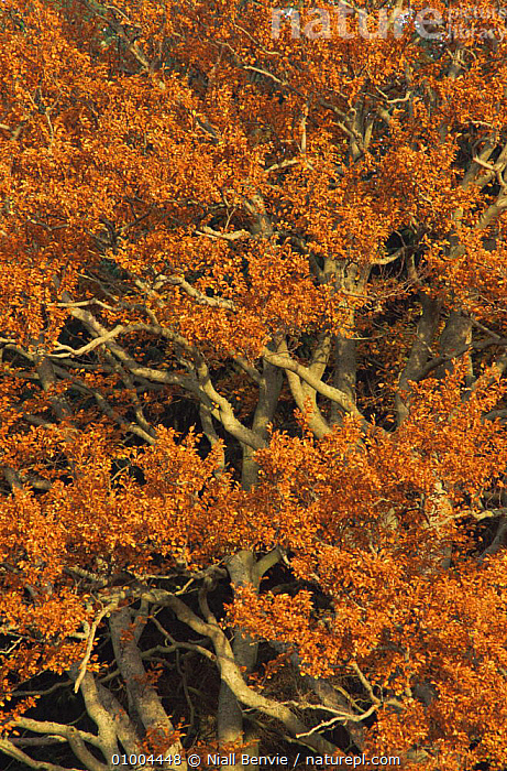 Beech tree (Fagus sylvatica) in Autumn, Scotland  ,  AUTUMN,BRANCHES,COLOURFUL,DICOTYLEDONS,EUROPE,FAGACEAE,LEAVES,ORANGE,PLANTS,SCOTLAND,TREES,UK,VERTICAL,United Kingdom,British  ,  Niall Benvie