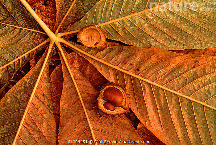 Conkers and Horse chestnut leaf (Aesculus hippocastanum), autumn. Scotland, UK, Europe  ,  ARTY SHOTS,AUTUMN,BROWN,CLOSE UPS,CONKERS,EUROPE,HORIZONTAL,LEAVES,OUTSTANDING,SCOTLAND,SEEDS,TREE,UK,VERTICAL,UNITED KINGDOM,BRITISH,EQUINES  ,  Niall Benvie