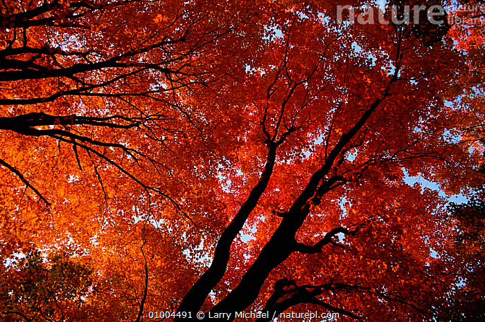 Sugar maple (Acer saccharum) in autumn colours. USA, ARTY SHOTS,AUTUMN,BROADLEAF,COLOURS,HORIZONTAL,ORANGE,PLANTS,USA,VERTICAL,NORTH AMERICA, Larry Michael
