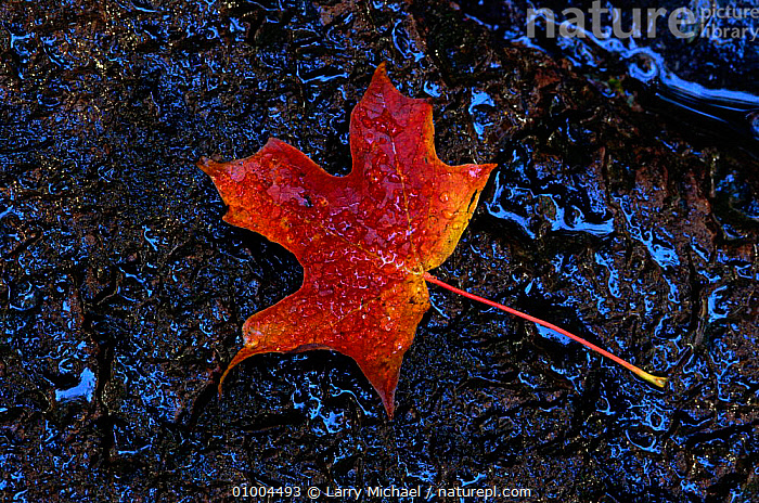 Sugar maple leaf (Acer saccharum) on ground. USA, ARTY SHOTS,AUTUMN,GROUND,HORIZONTAL,LEAF,LEAVES,ORANGE,USA,NORTH AMERICA, Larry Michael