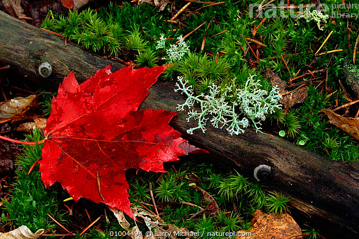 Autumn Sugar maple leaf on ground with lichen, North America  ,  AUTUMN,GROUND,HORIZONTAL,LEAF,LEAVES,LICHENS,MOSS,RED,USA,NORTH AMERICA,PLANTS  ,  Larry Michael
