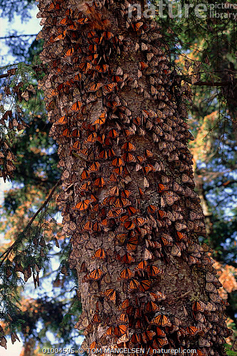 Monarch butterflies massed on tree trunk at overwintering site, Mexico  ,  BUTTERFLIES,CENTRAL AMERICA,GROUPS,INSECTS,INVERTEBRATES,LEPIDOPTERA,MEXICO,MIGRATION,NHU,SWARMS,TM,TREE,TRUNK,WINTER  ,  TOM MANGELSEN
