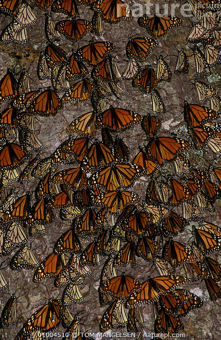 Monarch butterflies gathered on on tree trunk (Danaus plexippus) Mexico, CENTRAL AMERICA,GROUPS,INSECTS,LEPIDOPTERA,WINTER,INVERTEBRATES, TOM MANGELSEN