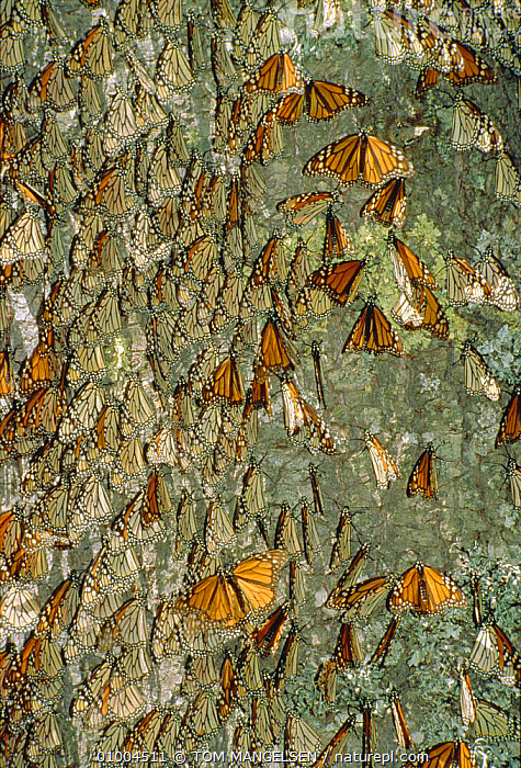 Monarch butterflies massed on tree trunk (Danaus plexippus) Mexico, CENTRAL AMERICA,INSECTS,WINTER,Invertebrates,Lepidoptera, TOM MANGELSEN