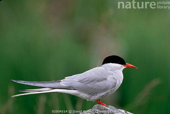 Arctic Tern {Sterna paradisaea} profile on rock, Alaska.  ,  ARCTIC,BIRDS,PROFILE,SEABIRDS,TERNS,USA,VERTEBRATES,North America  ,  David Welling
