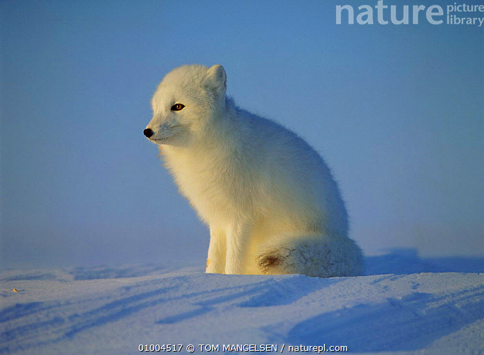 Arctic Fox sitting portrait, Canada (Vulpes lagopus), CARNIVORES,FOXES,WHITE,MAMMALS,WINTER,DOGS,CANIDS, TOM MANGELSEN