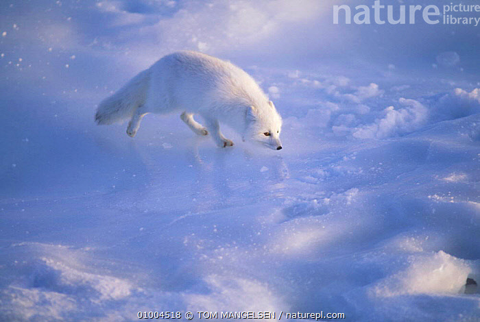 Arctic Fox on ice, Canada (Vulpes lagopus), CARNIVORES,MAMMALS,WINTER,FOXES,WHITE,DOGS,CANIDS, TOM MANGELSEN