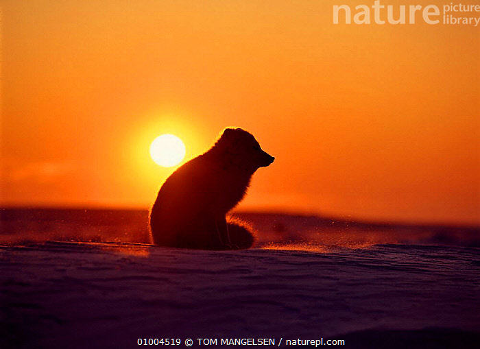 Arctic Fox sitting at sunset. Canada (Vulpes lagopus), CARNIVORES,FOXES,NORTH AMERICA,SUNSET,MAMMALS,SILHOUETTES,DOGS,CANIDS, TOM MANGELSEN