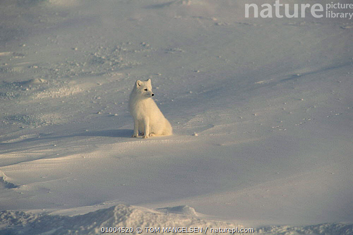 Arctic Fox in snow, Canada. (Vulpes lagopus), CARNIVORES,CANADA,FOXES,WHITE,North America,Dogs,Canids ,MAMMALS, TOM MANGELSEN