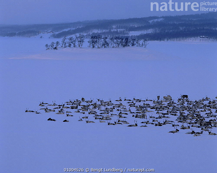 Herd of Reindeer (Rangifer tarandus) at dusk in winter, Sweden, ARTIODACTYLA,CERVIDS,DEER,EUROPE,GROUPS,LANDSCAPES,MAMMALS,SCANDINAVIA,SNOW,SWEDEN,VERTEBRATES,WINTER, Bengt Lundberg