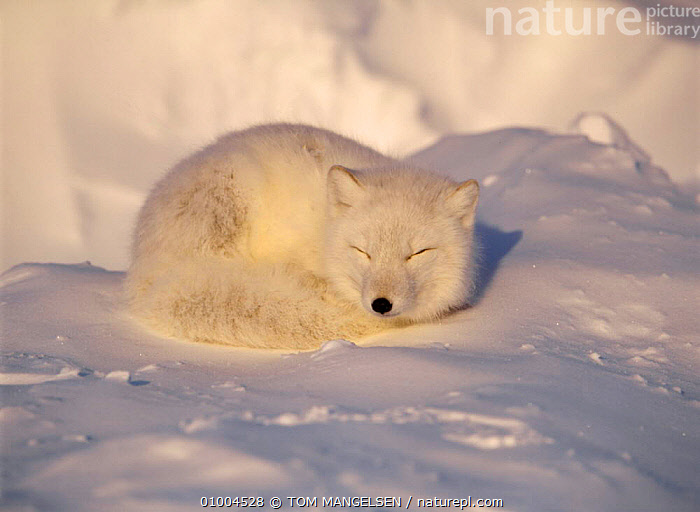 Arctic Fox (Vulpes lagopus) curled up on snow Canada.  ,  RESTING,MAMMALS,LYING,WHITE,FOXES,CANADA,CARNIVORES,NORTH AMERICA,DOGS,CANIDS  ,  TOM MANGELSEN