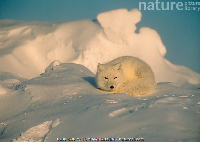 Arctic fox (Vulpes lagopus) curled up lying on snow at sunset, Canada  ,  ARCTIC,CAMOUFLAGE,CANADA,CANIDS,CARNIVORES,FOXES,MAMMALS,NORTH AMERICA,VERTEBRATES  ,  TOM MANGELSEN