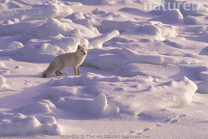 Arctic Fox (Vulpes lagopus) in snow, Canada. Camouflaged in winter coat  ,  CARNIVORES,CANADA,CAMOUFLAGE,FOXES,HABITAT,WHITE,MAMMALS,ONE,NORTH AMERICA,DOGS,CANIDS  ,  TOM MANGELSEN
