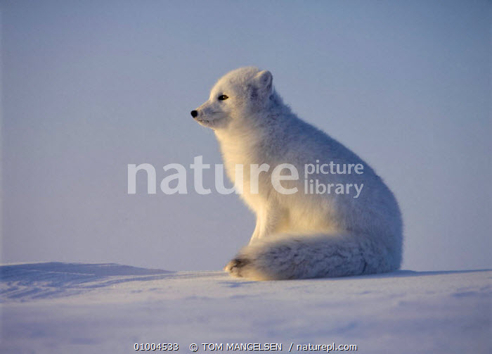 Arctic Fox (Vulpes lagopus) sitting in snow. Canada. Winter coat  ,  ONE,PROFILE,PORTRAITS,MAMMALS,WHITE,SNOW,FOXES,CANADA,CARNIVORES,NORTH AMERICA,DOGS,CANIDS  ,  TOM MANGELSEN