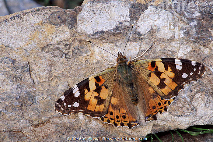 Painted Lady on migration. Crete, Greece April 1996, ARTHROPODS, BUTTERFLIES, EUROPE, HORIZONTAL, INSECTS, INVERTEBRATES, LEPIDOPTERA, WINGS, Niall Benvie