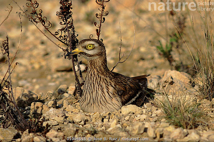 Stone Curlew at nest on ground, Spain, BIRDS,CAMOUFLAGE,EUROPE,GROUND,HORIZONTAL,NEST,NESTING BEHAVIOUR,RR,SPAIN,WADERS,REPRODUCTION,PLOVERS, Waders, Jose B. Ruiz