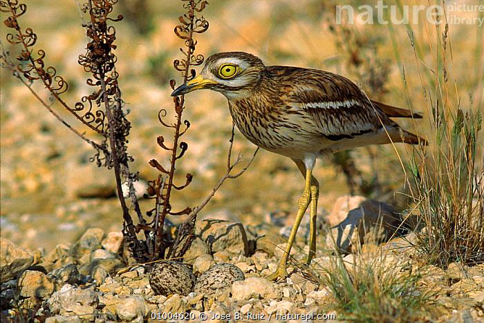 Stone Curlew at nest, eggs well camouflaged. Spain  ,  BIRDS,CAMOUFLAGE,EGGS,EUROPE,HORIZONTAL,NESTS,RR,SPAIN,PLOVERS,WADERS, Waders  ,  Jose B. Ruiz
