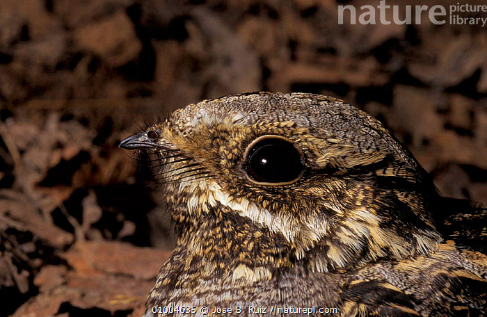 Nightjar head close up at nest on ground, Spain (Caprimulgus europaeus)  ,  EUROPE,FEATHERS,HEADS,NEST,PROFILE,RR,SPAIN  ,  Jose B. Ruiz