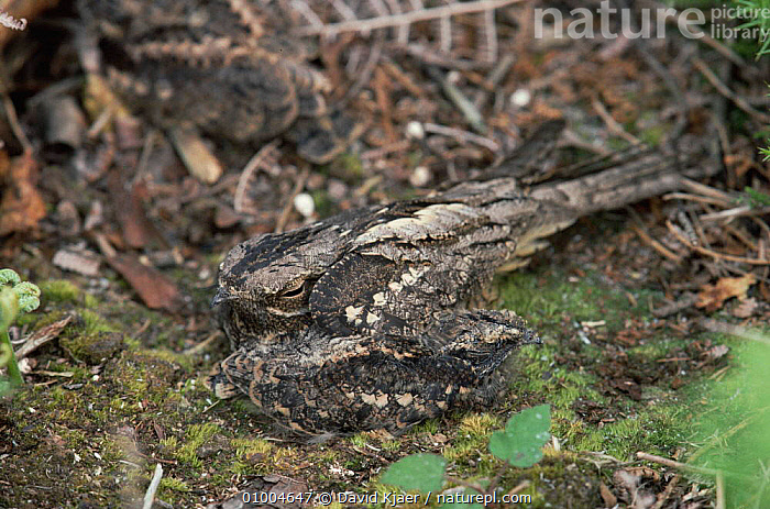 Nightjar (Caprimulgus europaeus) adult and chick at nest scrape. England  ,  CAMOUFLAGE,DK,ENGLAND,EUROPE,FAMILIES,NEST,NESTING BEHAVIOUR,NESTLING,PARENTAL,SCRAPE,UK,YOUNG,UNITED KINGDOM,REPRODUCTION,BRITISH  ,  David Kjaer