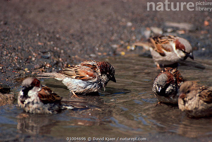House Sparrows (Passer domesticus) bathing in puddle England  ,  BATHING,BIRDS,DK,ENGLAND,EUROPE,FINCH,FINCHES,FLOCKS,GROOMING,HORIZONTAL,HOUSE,PUDDLE,SPARROWS,UK,UNITED KINGDOM,BRITISH  ,  David Kjaer