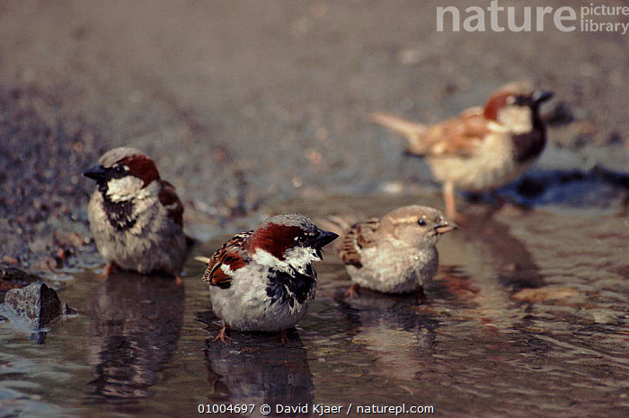 Common (House) Sparrows bathing in puddle, England, BATHING,BIRDS,DK,ENGLAND,EUROPE,GROOMING,HORIZONTAL,HOUSE,PASSERINES,UK,WATER,UNITED KINGDOM,BRITISH, David Kjaer
