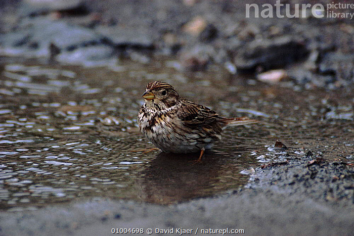 Corn Bunting bathing in puddle, England, BATHING,BIRDS,DK,ENGLAND,EUROPE,HORIZONTAL,PASSERINES,UK,WATER,UNITED KINGDOM,BRITISH, David Kjaer