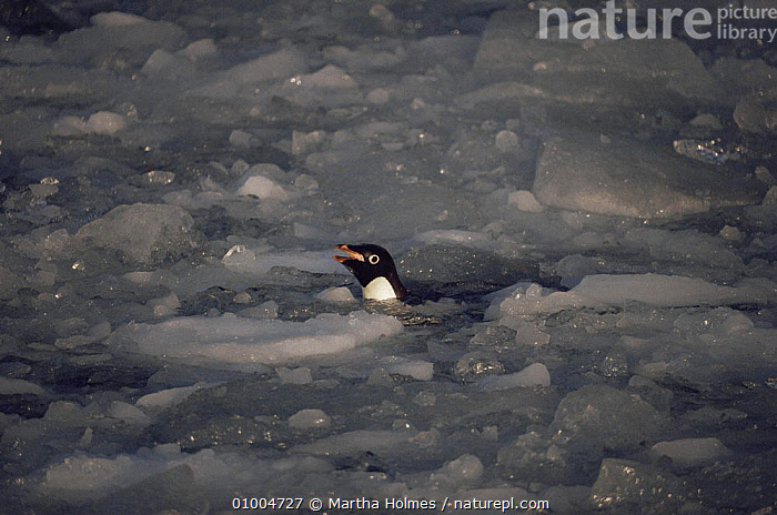 Adelie penguin swimming in brash ice (Pygoscelis adeliae) Antarctica  ,  ANTARCTICA,BIRDS,ICE,PENGUINS,SEABIRDS,VERTEBRATES, Seabirds  ,  Martha Holmes