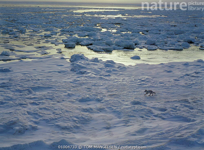 Arctic fox in icy landscape. Hudson Bay, Canada., WINTER,MAMMALS,CARNIVORES,COLD,FOXES,HABITAT,ICE,DOGS,CANIDS, TOM MANGELSEN
