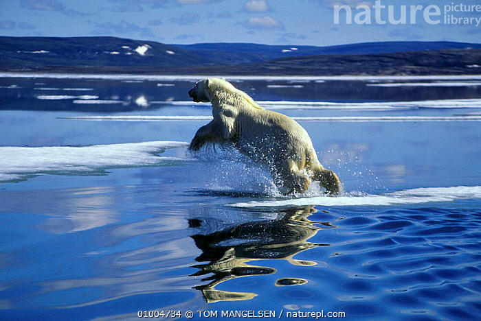 Polar bear {Ursus maritimus} leaping to ice floe, Hudson Bay, ACTION,CANADA,CARNIVORES,ARCTIC,BEARS,JUMPING,MAMMALS,MARINE,NORTH AMERICA, TOM MANGELSEN