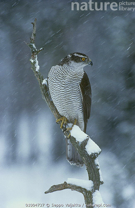 Northern Goshawk {Accipiter gentilis} perched in snow, Finland  ,  BIRDS, BIRDS-OF-PREY, EUROPE, HAWKS, SCANDINAVIA, SNOW, snowing, VERTEBRATES, VERTICAL, WEATHER  ,  Seppo Valjakka