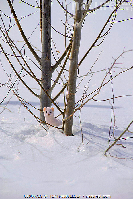Stoat / Ermine behind tree. (Mustela erminea) USA  ,  COLOUR PHASE,SNOW,TREES,WEASELS,WHITE,WINTER,CARNIVORES,MAMMALS,PLANTS,MUSTELIDS  ,  TOM MANGELSEN