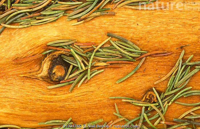 Norway Spruce split trunk with needles (Picea abies) Scotland, ABSTRACT,CONIFERS,EUROPE,GYMNOSPERMS,NORWAY,PINACEAE,PINES,PLANTS,SCOTLAND,Scandinavia, Scandinavia, Niall Benvie