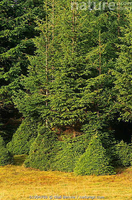 Norway Spruce after grazing by Red deer. (Picea abies) Scotland  ,  CONIFERS,DEER,EUROPE,GYMNOSPERMS,NORWAY,PINACEAE,PINES,PLANTS,RED,SCOTLAND,Scandinavia, Scandinavia  ,  Niall Benvie