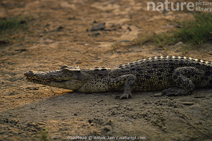 Saltwater crocodile {Crocodylus porosus} by river, India  ,  CROCODILES,CROCODILIANS,INDIA,INDIAN SUBCONTINENT,NP,PROFILE,REPTILES,VERTEBRATES,Asia,National Park,Crocodylia, Crocodiles  ,  Ashok Jain