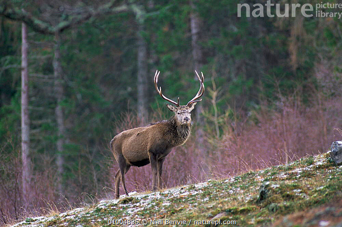 Red Deer stag (Cervus elaphus) up on highlands, Scotland, ANTLERS,ARTIODACTYLA,CERVIDS,DEER,EUROPE,HIGHLANDS,MALES,MAMMALS,MOUNTAINS,RED,SCOTLAND,stag,VERTEBRATES, Niall Benvie