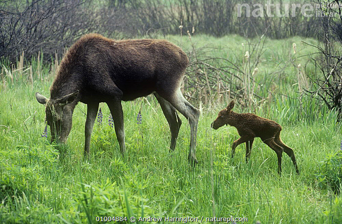 Moose (Alces alces) with newborn calf, Poland  ,  ARTIODACTYLA,BABIES,CERVIDS,DEER,EUROPE,FAMILIES,MAMMALS,MOTHER BABY,POLAND,VERTEBRATES  ,  Andrew Harrington