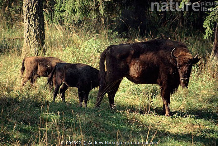 European Bison, Bialowieza NP, Poland  ,  AH,ARTIODACTYLA,BIALOWIEZA,ENDANGERED,EUROPE,HORIZONTAL,MAMMALS,POLAND,WOODLANDS,CATTLE  ,  Andrew Harrington
