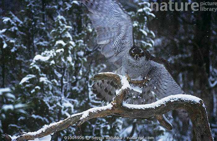 Northern Goshawk {Accipiter gentilis} male taking off from branch, Finland  ,  BIRDS, BIRDS-OF-PREY, CONIFEROUS, EUROPE, FLYING, HAWKS, MALES, SCANDINAVIA, SNOW, TAKE-OFF, VERTEBRATES, WINTER, WOODLANDS  ,  Seppo Valjakka