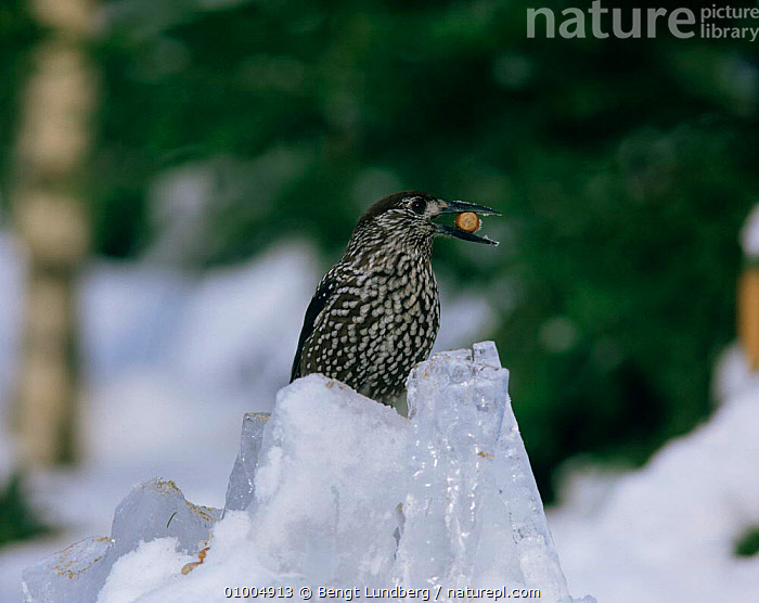 Nutcracker with nut in beak. (Nucifraga caryocatactes) Sweden, BIRDS,DISPERSAL,FEEDING,ICE,NUTCRACKERS,PORTRAITS,SWEDEN,VERTEBRATES,WINTER,Europe,Scandinavia,Corvids, Bengt Lundberg