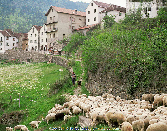 Pyrrenean village scene with sheep, Anco, Aragon, Spain  ,  BUILDINGS,COUNTRYSIDE,EUROPE,farming,FARMLAND,HIGHLANDS,LANDSCAPES,LIVESTOCK,MOUNTAINS,PEOPLE,pyrenees,rural,SHEEP,SPAIN,TRADITIONAL,villages  ,  Bengt Lundberg