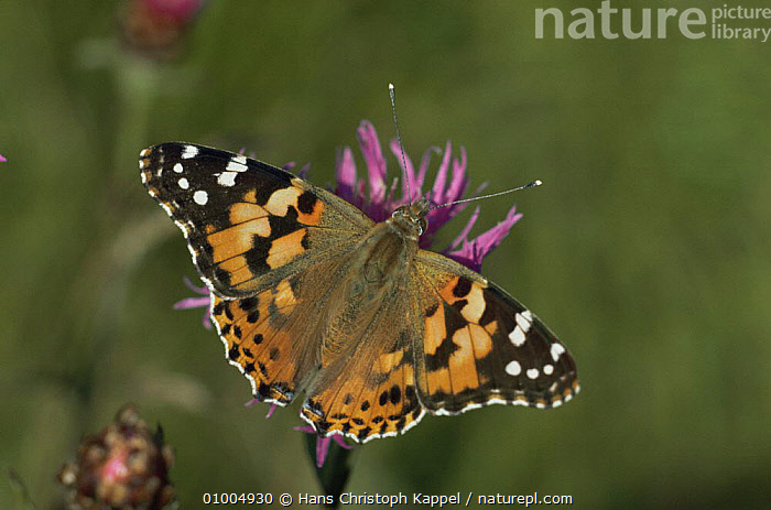 Painted Lady butterfly (Vanessa cardui) on flower head, Germany, ARTHROPODS, BUTTERFLIES, EUROPE, FLOWERS, GERMANY, INSECTS, INVERTEBRATES, LEPIDOPTERA, Hans Christoph Kappel