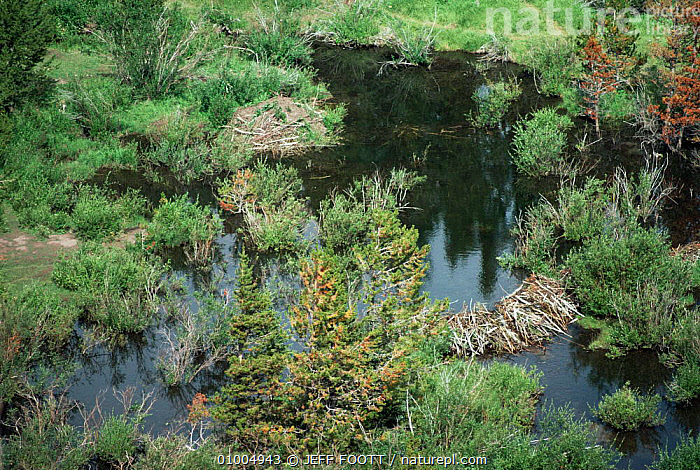Beaver (Castor canadensis) lodge, dam and pond, USA  ,  BEAVERS,HOMES,LANDSCAPES,MAMMALS,RIVERS,RODENTS,USA,VERTEBRATES,North America  ,  JEFF FOOTT