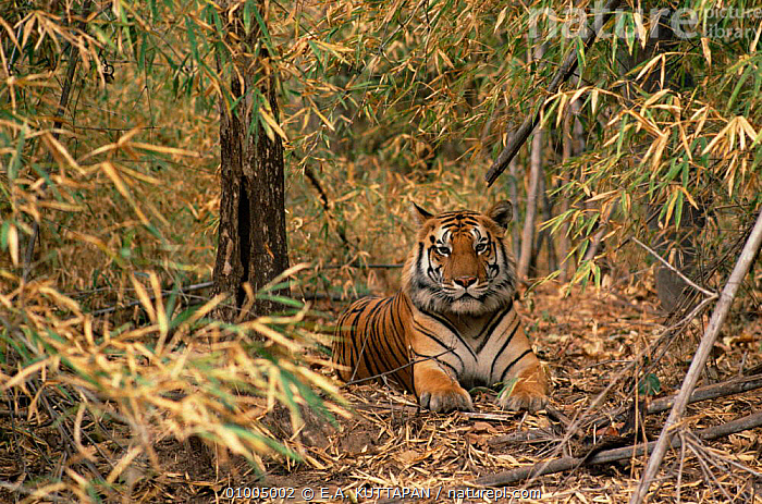 Bengal tiger in undergrowth (Panthera tigris) Bandhavgarh NP, Madhya Pradesh, India  ,  BENGAL,BIG CATS,CARNIVORES,CATS,ENDANGERED,HABITAT,INDIAN,INDIAN SUBCONTINENT,MAMMALS,NP,RESTING,TIGERS,TROPICAL DRY FOREST,Asia,National Park  ,  E.A. KUTTAPAN