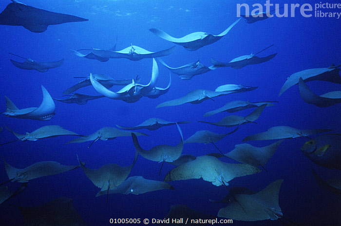 Large shoal of Golden cownosed rays (Rhinoptera steindachneri) swimming, Galapagos, BLUE,CHONDRICHTHYES,FISH,GALAPAGOS,GROUPS,MARINE,PACIFIC OCEAN,RAYS,TROPICAL,UNDERWATER,VERTEBRATES, DAVID HALL